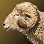 Les prix des moutons en hausse cette année !