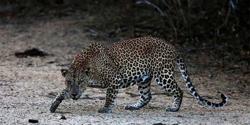مقتل حيوان نادر بسريلانكا بسبب ''الغضب''