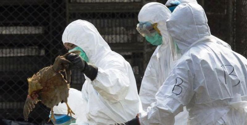Après le Coronavirus, le virus de la grippe aviaire H5N1 réapparaît en Chine
