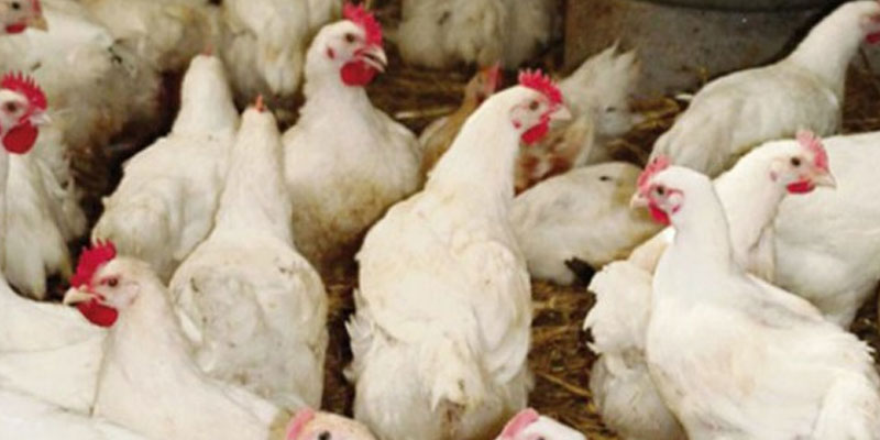 Les aviculteurs appelés à respecter le calendrier des vaccins
