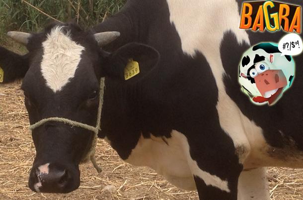 Juin, le mois de la vache avec Bagra The Game, cette fois c'est Brigitte qui est en jeu