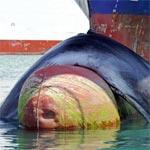 Une baleine percutée par un cargo en provenance de Tunisie