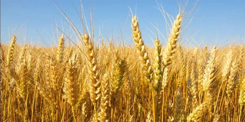 سمير الطيب : تقديرات إنتاج الحبوب بولاية زغوان بحولي 1,7 مليون قنطار