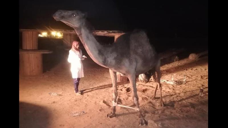 Photos: grâce à vous, la chamelle de Tataouine est sauvée