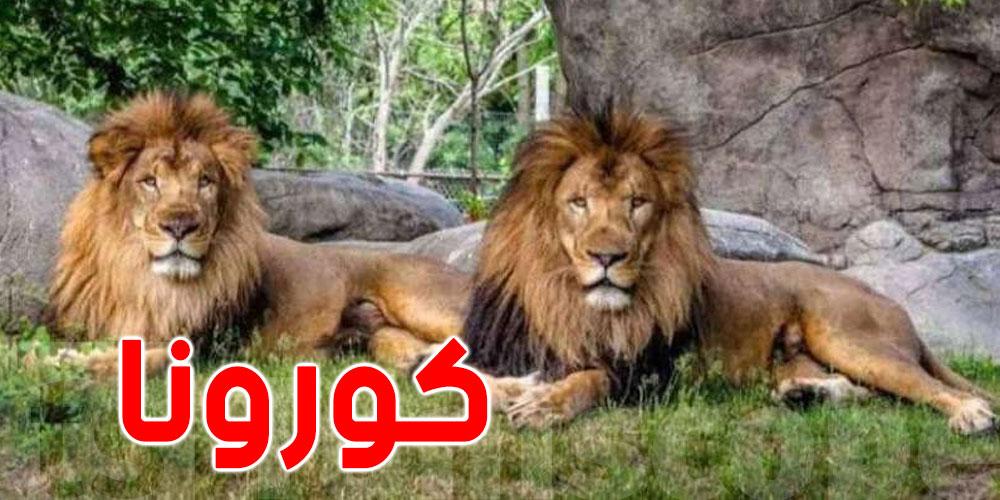 ثبوت إصابة 8 أسود في حديقة حيوان هندية بكوفيد-19