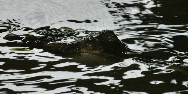 حشد غاضب من قرويين مسلحين بسكاكين وهراوات يقتلون حوالي 300 تمساح