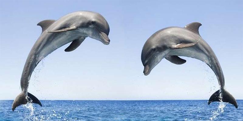 لماذا تصطاد البحرية الروسية الدلافين؟