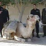 Arrestation d'un dromadaire transportant 200 kg de Zatla