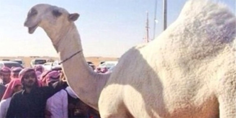 بالفيديو : السعودية تحنّط أجمل ناقة لديها بعد أشهر على نفوقها