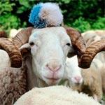 بسبب الظروف الاقتصادية.. خروف العيد في مصر للإيجار فقط