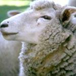Même 'Le Figaro' parle des moutons roumains en Tunisie
