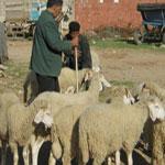 Le prix des moutons de l'Aïd a diminué !