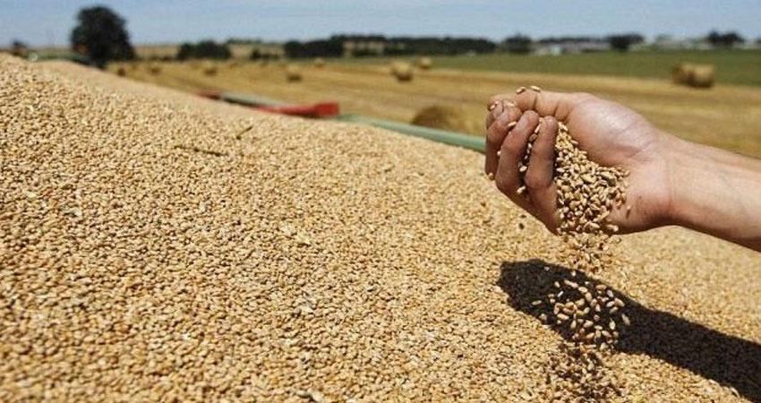 نحو 2375 طنّا تقديرات صابة القمح والشعير بقفصة