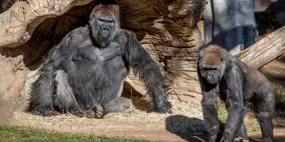 Des gorilles testés positifs au covid-19 dans un zoo en Californie
