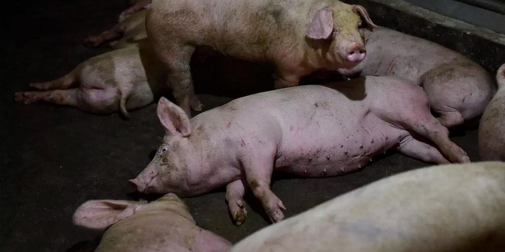 Des virus de grippe porcine propices à une pandémie découverts en Chine