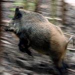 القيروان: خنزير برّي يقتحم الفضاء البلدي بحاجب لعيون و يثير ذعر المواطنين