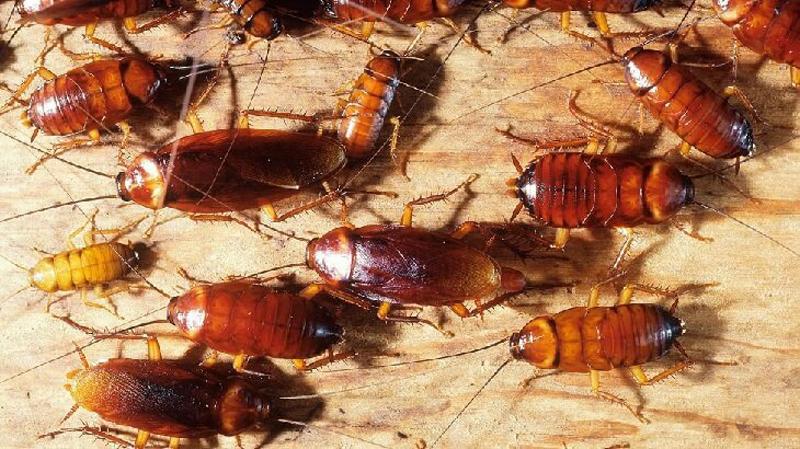 لماذا يصعب القضاء على الصراصير؟