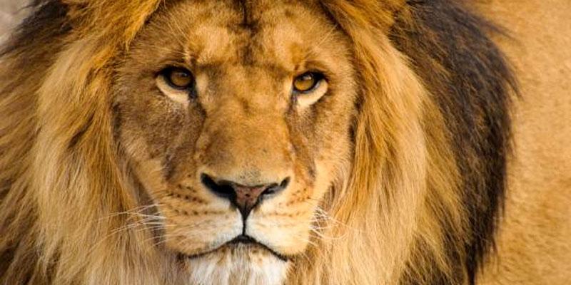 Cinq félins dont deux lions s'échappent d'un zoo en Allemagne