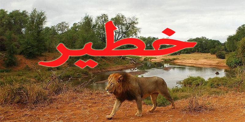 هروب جماعي لـ14 أسدا من حديقة ''كروغر '' بجنوب إفريقيا