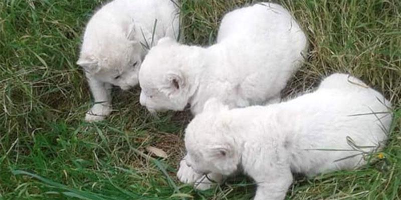 كيف أصبح الثلاث أشبال البيضاء بحديقة فريڨيا؟