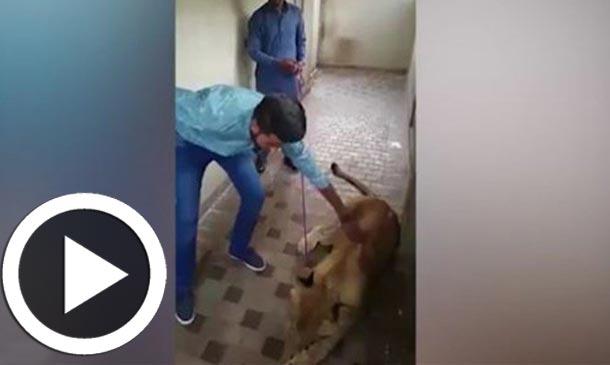 En vidéo : Ce qui arrive quand on essaye de caresser une lionne....