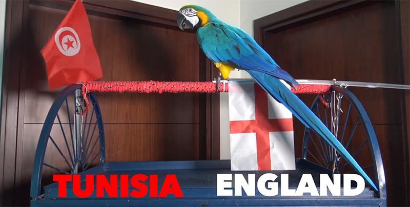 بالفيديو: ببغاء يتكهّن فوز تونس على حساب انجلترا