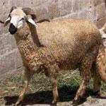 Ministère du Commerce : Une baisse des prix des moutons entre 20 et 50 dinars ...