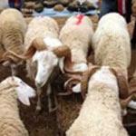 Les 12 points de vente des moutons de l'Aïd