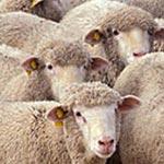 Ministère du Commerce : Les moutons importés de Roumanie ne sont pas malades