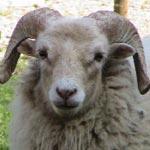 Une délégation spéciale part en Roumanie pour superviser l'importation de 100 mille moutons