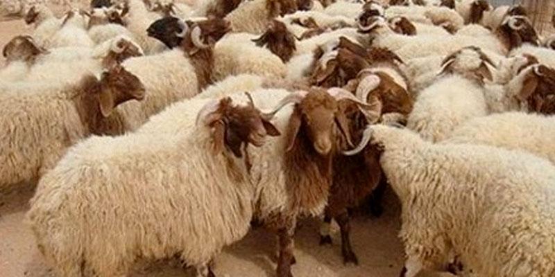 Un million 500 mille têtes de moutons de sacrifice disponibles pour l'Aid