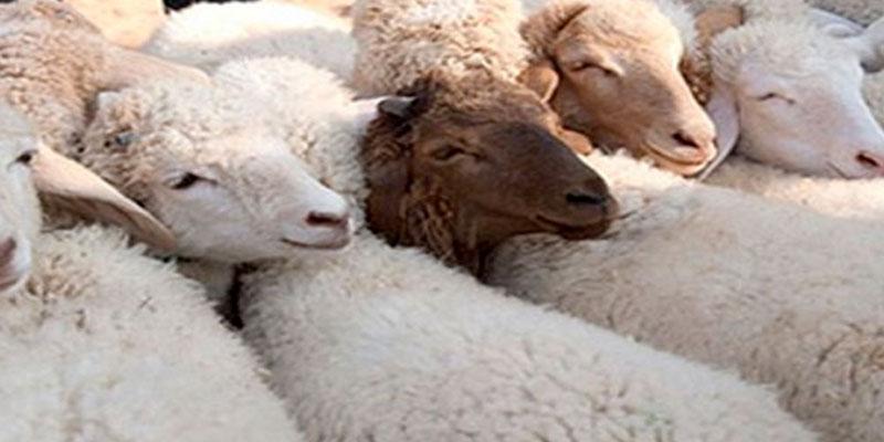 La Tunisie va-t-elle importer des moutons pour l'Aïd Al-Adha cette année ?