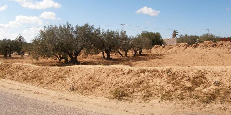 Vol de sable et Margine déversée dans les oliveraies de Djerba