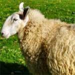 40 000 ovins clandestins venus de la Libye !