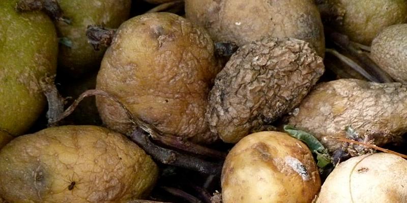 Les pommes de terre importées d'Egypte étaient avariées, déclare Ezzar
