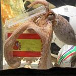 Pronostic de la finale Espagne - Pays Bas par Paul le poulpe