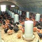 Selon les aviculteurs : Le secteur des œufs est en crise