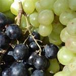 Les pépins de raisin pour détruire les cellules cancéreuses