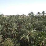 A Tozeur, ils vivent depuis 6 mois dans les palmiers !