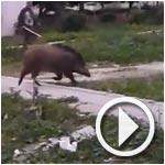 بالفيديو : خنزير وحشي يتجول في منطقة الدندان من ولاية منوبة