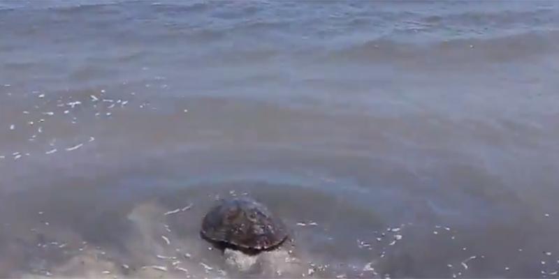 بالفيديو: الشرطة البيئية بالمكنين تحجز سلحفاة بحرية و تعيدها إلى البحر